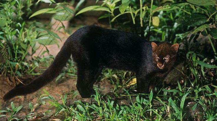 Jaguarundi ou Gato Mourisco